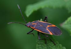 Box Elder Bug Stock Photo