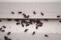 Box Elder Bug Infestation on House royalty free stock photography