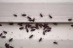 Free Box Elder Bug Infestation On House Royalty Free Stock Photography - 28210217