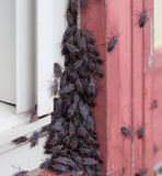 Box Elder Bugs on House Royalty Free Stock Photos