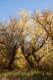 Box Elders in fall colors Royalty Free Stock Photo