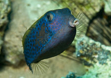 Box Fish. Blue spotted box fish close up with mouth open Royalty Free Stock Image