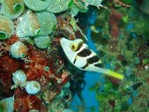 Box fish Royalty Free Stock Images