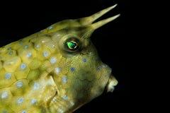 Box Fish Lactoria Cornuta Stock Images