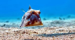 Box fish in Red sea Stock Photography