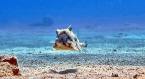 Box fish in Red sea Royalty Free Stock Photos