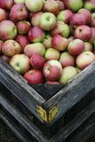 Box of Fresh Apples After Rain Royalty Free Stock Photo