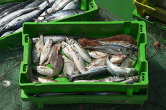 Box of fresh fish on fishing neds in the boat. Stock Photos