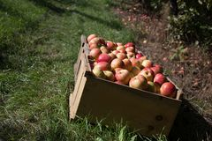 Fresh picked apples in an orchard. Stock Photos