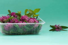 Box with fresh red clover on green bacground. Medicinal plants. royalty free stock photography