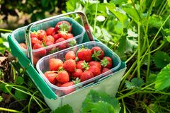 Box of Freshly Picked Strawberries royalty free stock images