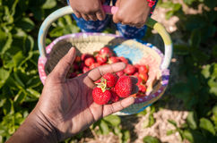 Box full of fresh organic strawberries in the field. Wholesome red strawberries picked from local green field Royalty Free Stock Image