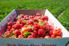 Box full of fresh organic strawberries in the field. Wholesome red strawberries picked from local green field Royalty Free Stock Images