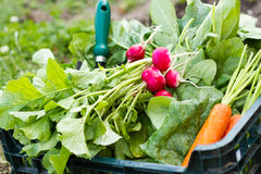 Box full of fresh organic vegetables. Box full of spinach, carrots, radishes Stock Photography