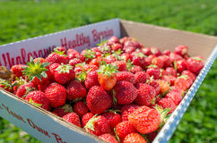 Free Box Full Of Fresh Organic Strawberries In The Field Stock Photography - 77410262