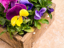 Box full of Pansies Stock Photos