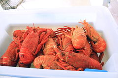 Box full of red lobsters. Box of freshly caught lobsters, each has a marked price on it Royalty Free Stock Images