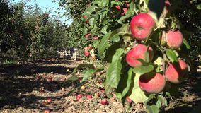 Box with harvest apple and blurred fruit tree branch full of organic fruits. 4K. Box with harvested apples and blurred fruit tree branch full of organic fruits stock video