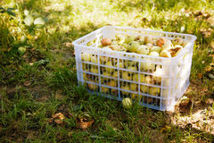 Box of harvested apples on grass. Harvested apples in a plastic box on grass Stock Photography