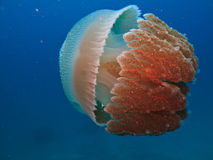 Box Jelly Fish Closeup Australia. Sideview of Biluminescent Jelly Fish on Great Barrier Reef Australia royalty free stock photo