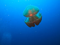 Box jelly fish on Great Barrier Reef Australia. Jellyfish, Rhizostome Cnidarins, floating on Great Barrier Reef Australia royalty free stock images
