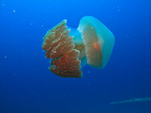 Box jellyfish Great Barrier Reef Australia. Side view of Box jelly Fish, Rhizostome cnidarians, Great Barrier Reef Australia stock image