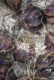 Box of lily lilium regale bulbs ready to be planted in Spring Royalty Free Stock Images