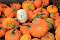 Box of Mini Pumpkins Royalty Free Stock Image