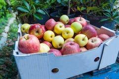 Box of mixed apples Stock Photo