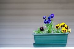 Box with pansies, seedlings. Gardening, planting flowers, space for text Royalty Free Stock Images