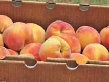Box of peaches. A box full of fresh peaches for sale at an outdoor farmer's market Royalty Free Stock Image