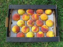 Box of peaches Royalty Free Stock Photography