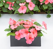 Box of Pink Impatiens Stock Photography