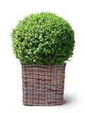 box plant in basket Stock Photo