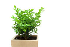 Box Plant in Pot Royalty Free Stock Photos