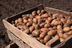 A box of potato is for sowing Royalty Free Stock Image