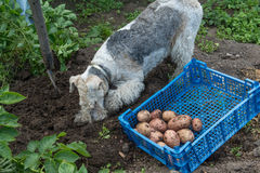 Box with potatoes and a fox terrier Royalty Free Stock Photos