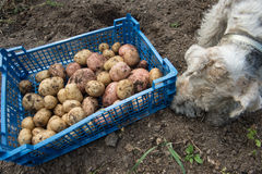 Box with potatoes and a fox terrier Stock Images