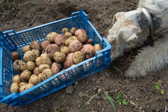 Box with potatoes and a fox terrier Stock Photos