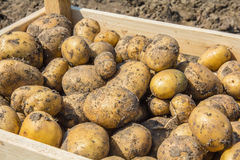 A box of Potatoes freshly dug from the earth Stock Photography
