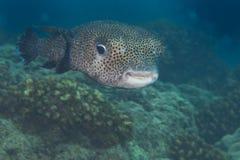 Box puffer fish underwater portrait Stock Images