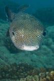 Box puffer fish underwater portrait Royalty Free Stock Image