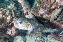 Box puffer fish underwater portrait Stock Photo