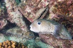 Box puffer fish underwater portrait Stock Image