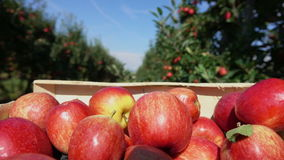 Box of red apples moves along a row of apple trees. Close-up of a box of ripe red apples moves along a row of apple trees in the garden stock video footage