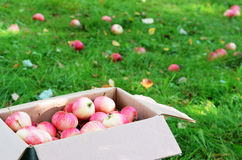 Box with ripe apples on the grass Royalty Free Stock Images