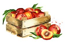 Box with ripe peaches. Watercolor hand drawn illustration, isolated on white background. Box with ripe peaches. Watercolor hand drawn illustration, isolated on vector illustration