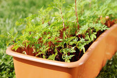 Box with seedling stands on the grass Royalty Free Stock Images