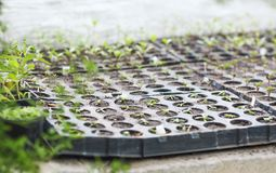 Box of seedlings in the greenhouse. Close up Stock Photo
