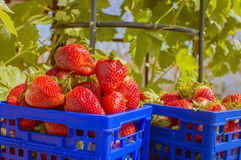 Box with strawberries. Box of ripe strawberries on green background Stock Photo
